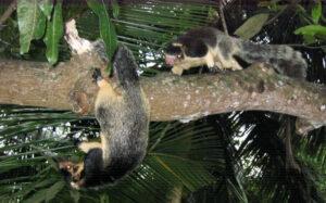 Rieseneichhörnchen